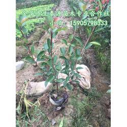 生泰源坚持高品质 7公分高杆红叶石楠-湖南高杆红叶石楠图片