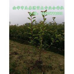 红叶石楠工程苗-浙江红叶石楠苗-生泰源品种繁多图片