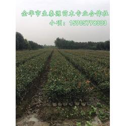 求购红叶石楠|红叶石楠|生泰源品种优良图片