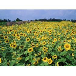 开远景观花种厂家-开远景观花种-二月蓝农业图片