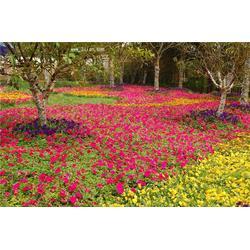 花种-二月蓝花种价种植基地-花种图片
