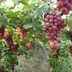 厂家直销优质葡萄苗 行业领先 服务周到 各种葡萄苗 优惠图片