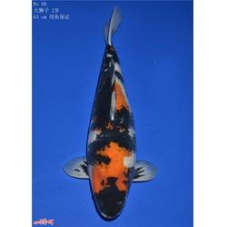 锦鲤的反义词-杭州华池园林(在线咨询)锦鲤图片