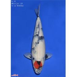 昭和三色-杭州华池园林-三色鲤鱼和昭和的区别
