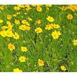 金鸡菊种植图片