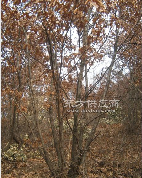平盛苗圃、销售米径3公分蒙古栎、米径3公分蒙古栎图片