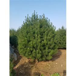 园林绿化苗木报价,绿化苗木,泰安平盛苗圃图片