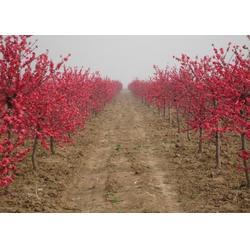 碧桃-泰安2-8公分碧桃-平盛苗圃(优质商家)图片