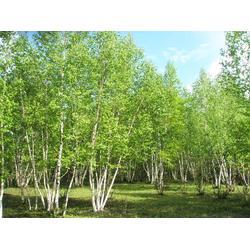 蒙古栎-丛生蒙古栎-平盛苗圃(优质商家)图片
