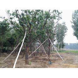 澳门3公分蒙古栎、平盛苗圃、出售3公分蒙古栎图片