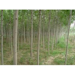 平盛苗圃,1.5米高白蜡苗多少钱,1.5米高白蜡苗图片
