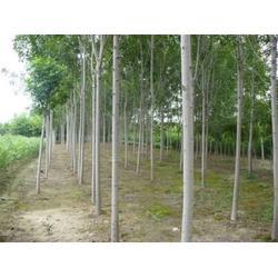 平盛苗圃(图),白蜡基地,白蜡图片