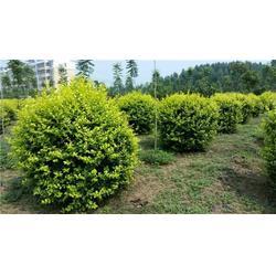 平盛苗圃 供应绿化苗木-梧州绿化苗木图片