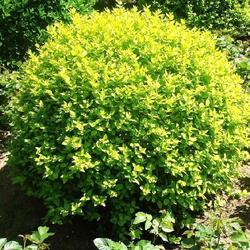 供求绿化苗木、晋中绿化苗木、平盛苗圃绿化中心图片