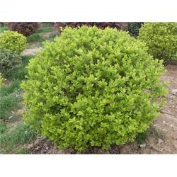 绿化苗木,平盛苗圃绿化,哪里有绿化苗木图片