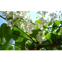 出售丁香树苗,平盛苗圃(在线咨询),丁香树苗图片