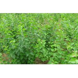 冠幅丁香树苗,丁香树,平盛苗圃图片