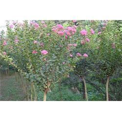 7公分紫薇树、平盛苗圃、紫薇树图片