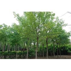 12公分五角枫,烟台五角枫,平盛苗圃(查看)图片
