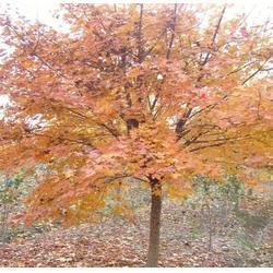 五角枫苗_平盛苗圃(在线咨询)_贵州五角枫苗图片