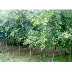 2米五角枫基地、出售2米五角枫基地、平盛苗圃(优质商家)图片