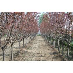平盛苗圃(图),销售5公分樱花,5公分樱花图片