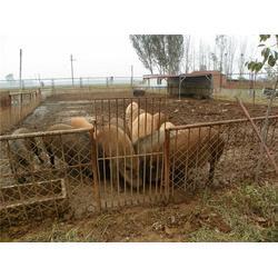 特种种猪场-格六牧业品种齐全-泰安特种种猪图片