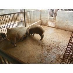 野猪养殖饲养|南阳野猪养殖|格六野猪专业基地(查看)图片