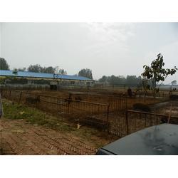野猪养殖-格六野猪养殖经验丰富-食用野猪养殖图片
