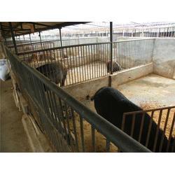特种野猪养殖合作社|德州特种野猪养殖|格六牧业品种齐全图片