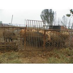 特种野猪供应商、长治特种野猪、格六牧业品种齐全图片