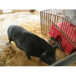 特种野猪养殖场|格六野猪纯粮喂养|野猪养殖图片