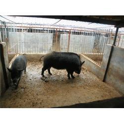 格六野猪养殖经验丰富(图)|野猪养殖户联系电话|天津野猪图片