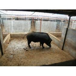 格六野猪专业基地(图)|食用野猪养殖|枣阳野猪养殖图片