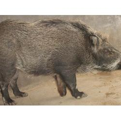 格六野猪原生态饲养 种猪养殖公司-唐山种猪养殖图片