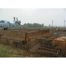特种猪养殖、格六牧业(在线咨询)、渭南种猪养殖图片