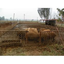 格六野猪品种好,野猪养殖基地,山西野猪养殖图片