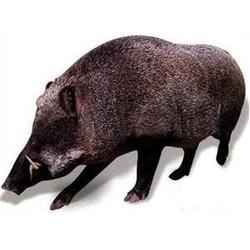 野猪养殖-格六野猪纯原生态养殖-南宫野猪养殖图片