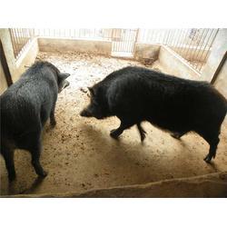 食用野猪养殖,嘉鱼野猪养殖,格六野猪专业基地(查看)图片