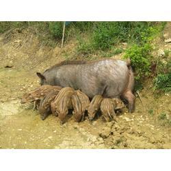 野猪猪仔-格六牧业(在线咨询)东安野猪仔图片