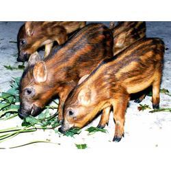 野猪仔_野猪仔养殖_格六牧业(优质商家)图片