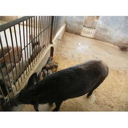 出售野猪仔_阳泉野猪仔_格六野猪实力圈粉图片