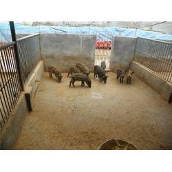 金昌小猪仔-格六养殖安全放心-小猪仔养殖基地图片
