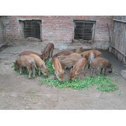 种猪野猪仔、深泽野猪仔、格六野猪专业基地(查看)图片