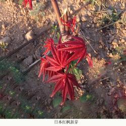 小日本红枫苗销售-日本红枫苗-日照舜枫园林图片