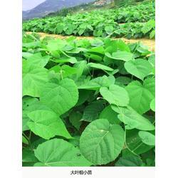 日照舜枫农林 紫椴苗分布范围-开封紫椴图片