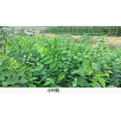 椴树苗厂家直销-舜枫农林(在线咨询)烟台椴树苗图片