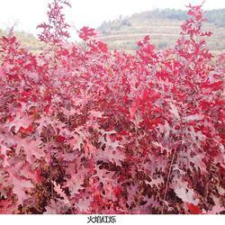 紅櫟小苗-紅櫟小苗-日照舜楓(查看)圖片