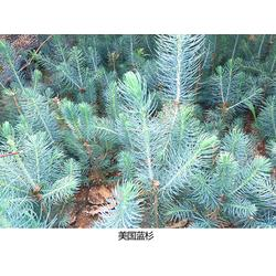 美国蓝杉-日照舜枫园林-美国蓝杉一亩地栽多少棵图片