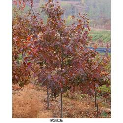 红栎苗培育|红栎苗|舜枫农林图片